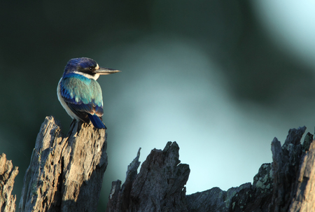 A Forest Kingfisher, Todiramphus macleayii, perched on a dead tree trunk with a blue black background and copy space. Stock Photo