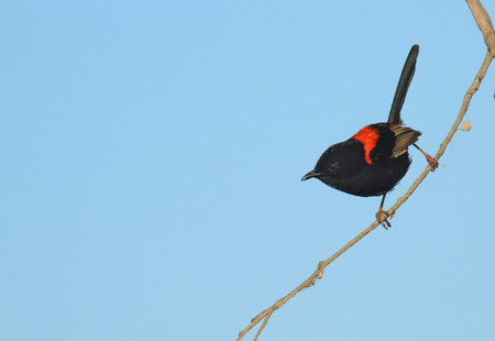 A male Red-backed Fairy-wren, Malurus melanocephalus, perched on a thin branch with a blue sky background and copy space