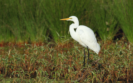 An Australian Eastern Great Egret, Ardea modesta, stading on the edge of a billabong in wetland habitat searching for food.   Photo Chris Ison  Wildshot Images