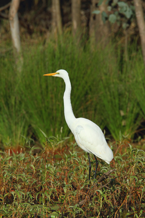 An Australian Eastern Great Egret, Ardea modesta, standing on the edge of a lagoon in wetland habitat searching for food.