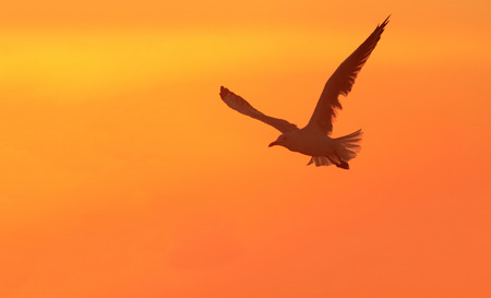 A Silver Gull silhouette in flight at sunset with orange sky background and copy space