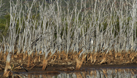 Dead trees rise from a dried up Australian outback lagoon with a single intermediate egret perched on a branch.