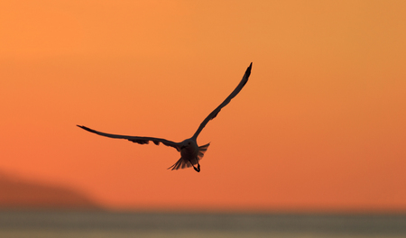 A seagull in flight silhouette at sunset with an orange sky