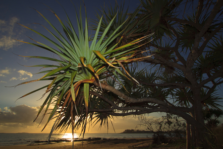 Screw Pine, Pandanus tectorius, with beach and sea in the background early morning sunrise in tropical Queensland, Australia Stock Photo