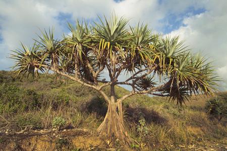 Screw Pine, Pandanus tectorius, on a tropical Queensland beach, Australia