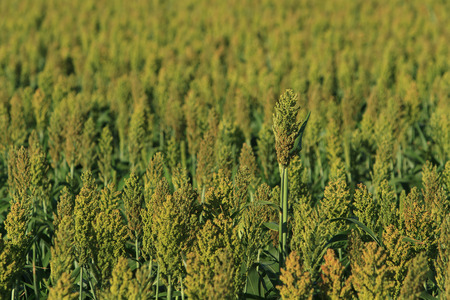Sorghum growing in a large field background with copy space.