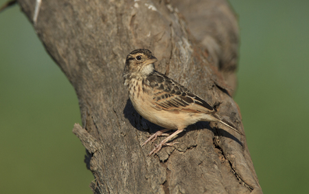 Australasian Bushlark, Mirafra javanica, perched on a tree trunk with brown background.