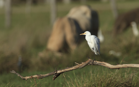 A Cattle Egret, Ardea ibis, standing with one leg on a branch with cattle in background.   Photo: Chris Ison / Wildshot Images