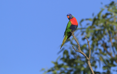 A colourful Rainbow Lorikeet, Trochoglossus haematodus, sitting in a tree with blue sky background and copy space. Stock Photo