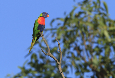 Rainbow Lorikeet, Trochoglossus haematodus, sitting in a tree with blue sky background.