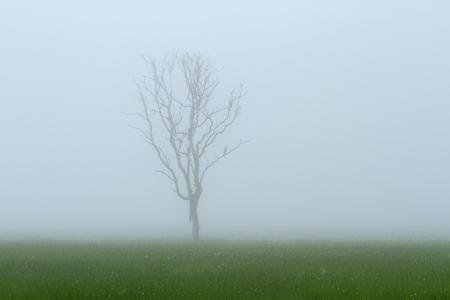 Mist shrouds a tree in the distance with green field, grey sky and copy space Stock Photo