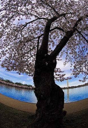 Ein Blick auf den Geliebten zu umarmen Kirschbaum mit dem Washington Monument im äußersten Hintergrund. Ein Wunder der Natur, scheint der Baum wie zwei Liebende einander umarmend, verwandelte sich in einen Baum. Kirschblütenfest in Washington DC