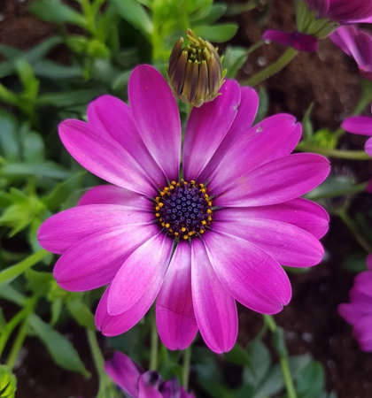 purple and pink garden decorative flowers for background in a flower bed