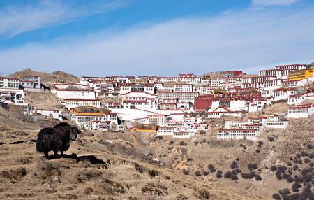gelugpa: Yak in front of Ganden Monastery in Tibet