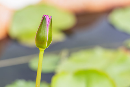 close up lotus budding  in a pond photo