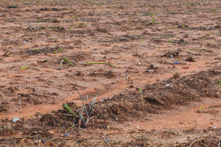 Land for agricultute and cultivated with baby casava or manioc plant photo
