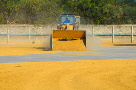 skid steer: Skid steer loaders moving paddy for dry out