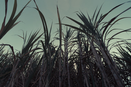 sugar cane farm: sugar cane plants grow in field Stock Photo