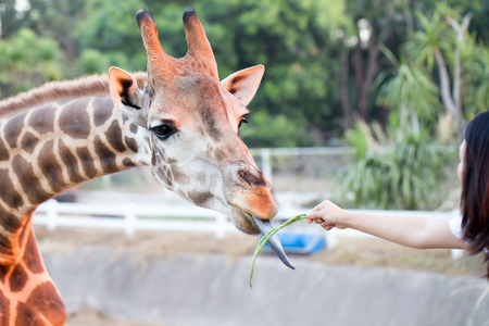 somali giraffe: Giraffe Being Feed by a woman