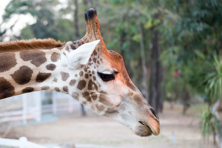 somali giraffe: Beside giraffe head Stock Photo