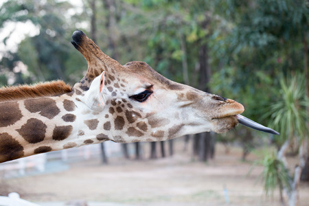 somali giraffe: Beside giraffe head, show it