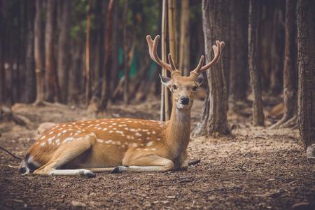 dear: Wild dear at natural site Khonkaenzoo, Thailand Stock Photo