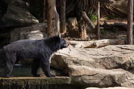 asiatic: Asiatic black bear, Khonkaenzoo Stock Photo