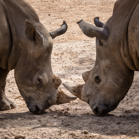 intimidating: Rhinoceros (Ceratotherium Simum) head to head - Khonkaenzoo, Thailand Stock Photo