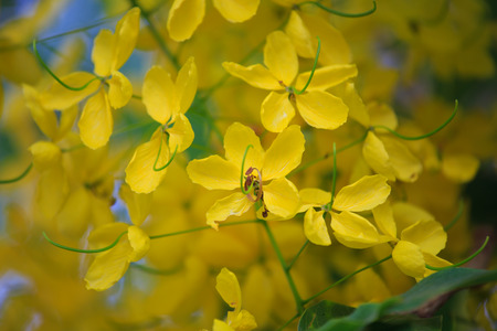 cassia: Cassia fistula flower, golden shower