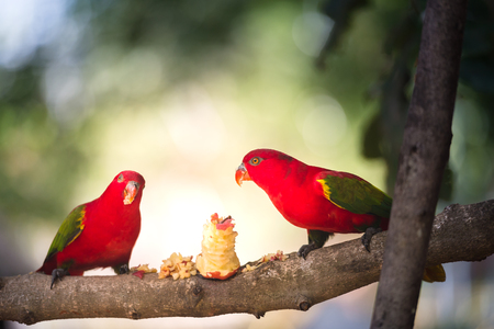 A pair of red parrot with green wings eating fruit