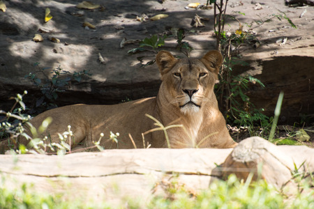 huge tree: A female lion (lioness) is resting in zoo