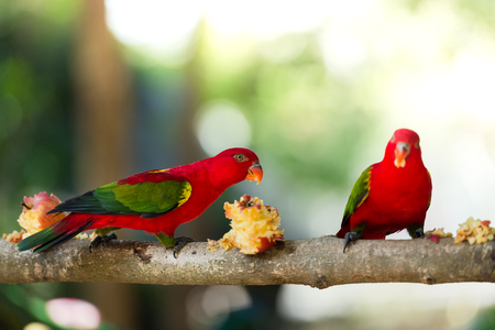 Beautiful red parrot eating fruit