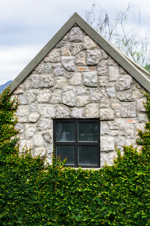 Climbing fig, Creeping fig, Creeping rubber plant. Old house wall with ivy creeper
