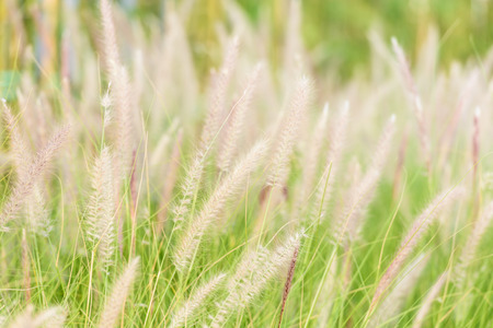 Dwarf Foxtail Grass or Pennisetum alopecuroides weed plants flowers