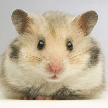 close-up of a cut Hamster in front of a white background
