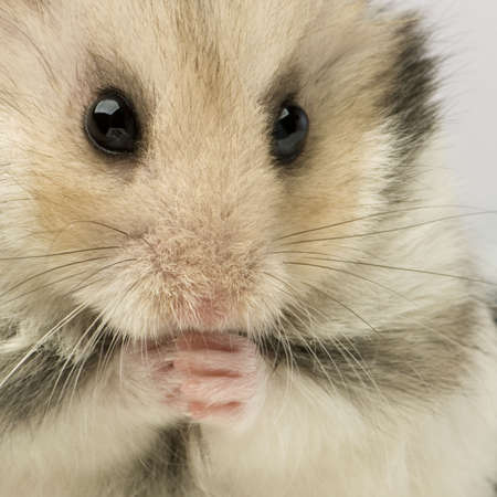 close up of a cut Hamster in front of a white background  Stock Photo