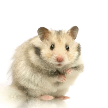 Hamster standing up and staring the camera in front of a white background  Stock Photo