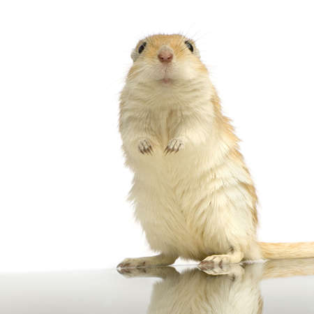 Gerbil standing up in front of a white background