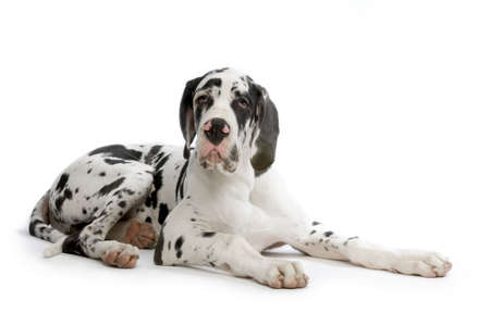 harlequin: Young Great Dane HARLEQUIN lying in front of white background Stock Photo