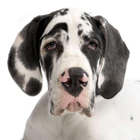 arlecchino: Ritratto di un giovane Great Dane HARLEQUIN di fronte a sfondo bianco Archivio Fotografico