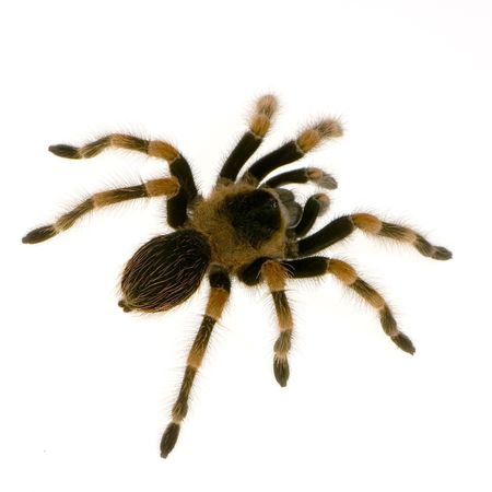 hairy legs: Mexican redknee tarantula in front of a white backgroung