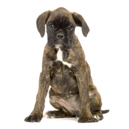 wrinkely: Boxer in front of white background