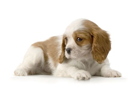 cavalier: Cavalier King Charles puppy in front of a white background