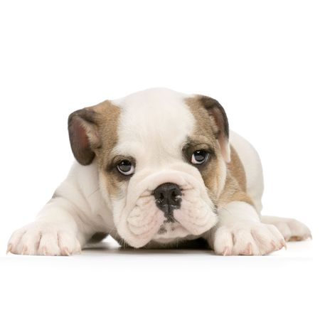 boxer dog: english Bulldog puppy lying down in front of white background and looking at the camera