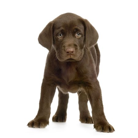 dog sitting: Puppy Labrador retriever chocolate in front of white background