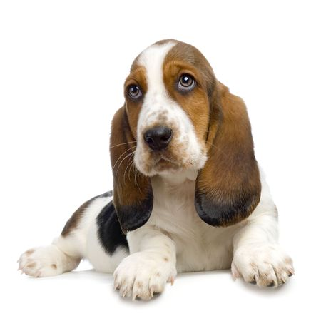 hounds: Basset Hound Puppy in front of white background