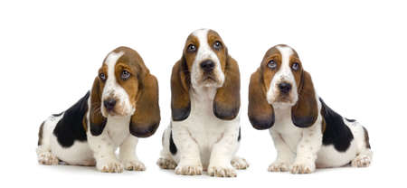 hounds: Basset Hound Puppies in front of white background