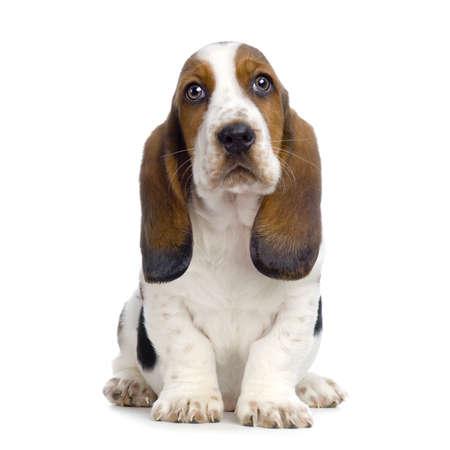 hounds: Basset Hound Puppy in front of white background