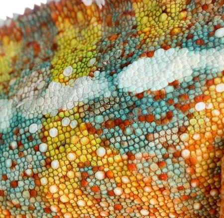 eidechse: Ausf�hrlich �ber die Chameleon Furcifer Pardalis  's Haut vor einem wei�en Hintergrund