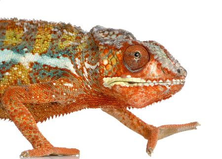 tardy: Chameleon Furcifer Pardalis in front of a white background Stock Photo